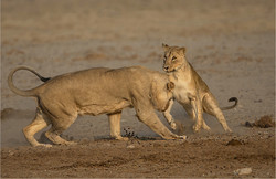 MR-002-02 Playing lions-734