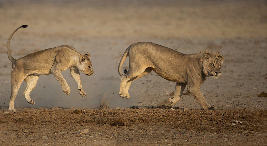 MR-005-05 Playing lions-734