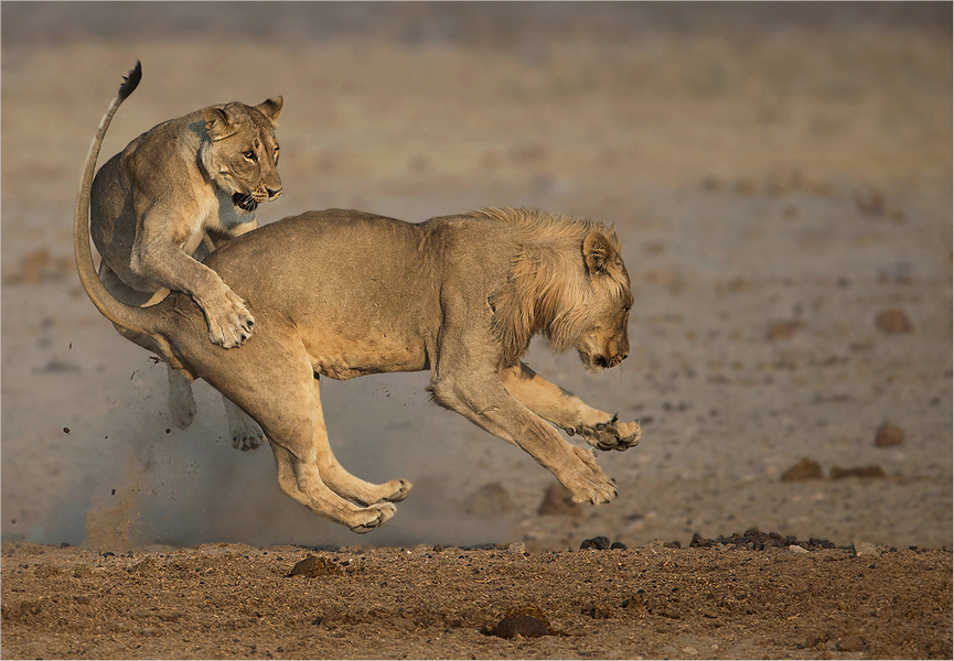 MR-003-03 Playing lions-734