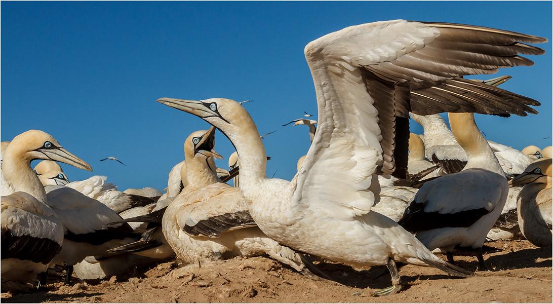 Gannet close-up