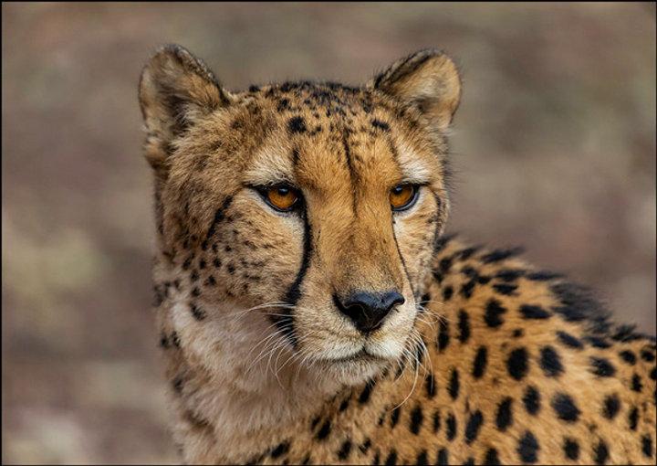 NA-Jnr-Andre Venter_Cheetah Stare.jpg