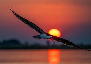 NB-M-Johan Greyling-38-G-Skimmer At Sunset.jpg