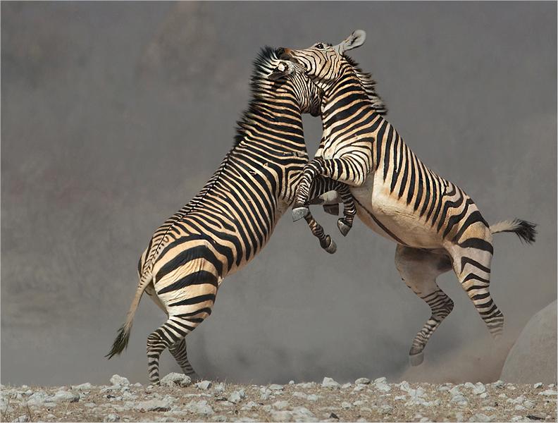 Hartmans zebra interaction