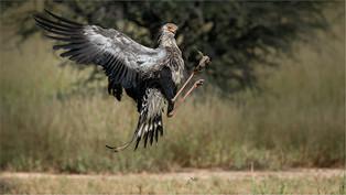 NB-Snr-Johan Greyling_Secretary Bird Pla
