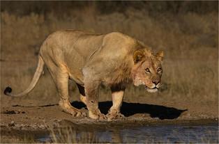 NA-M-Andre Ligthelm-36-G-Alert Lion.jpg