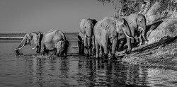 Chobe olifante