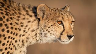 NA-M-Tania Cholwich-37-G-Golden Portrait Of A Cheetah.jpg
