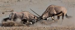 Oryx fight
