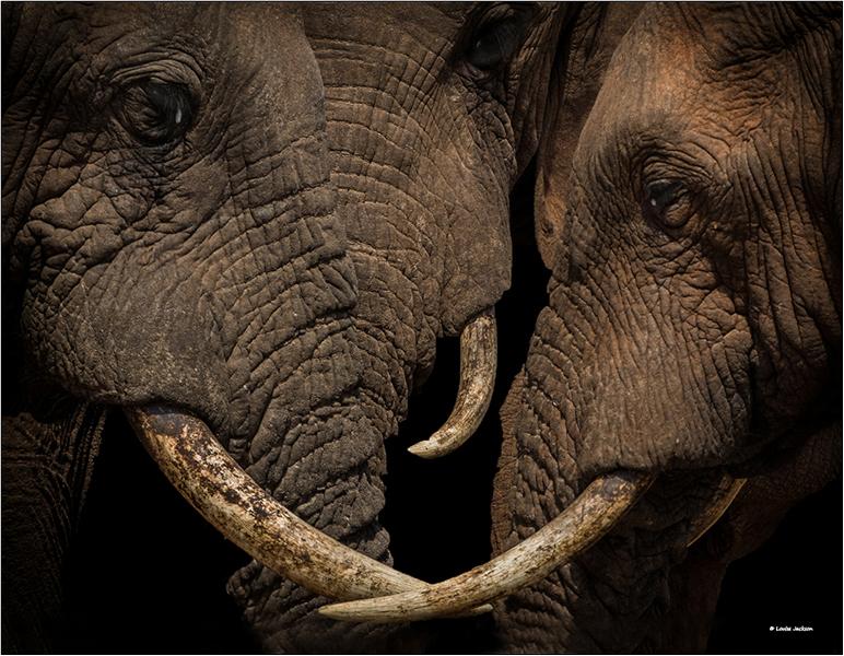 Elephant wisdombfb