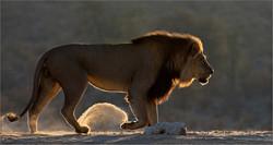 Lion on a mission