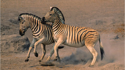 3 Zebra duel  jjd