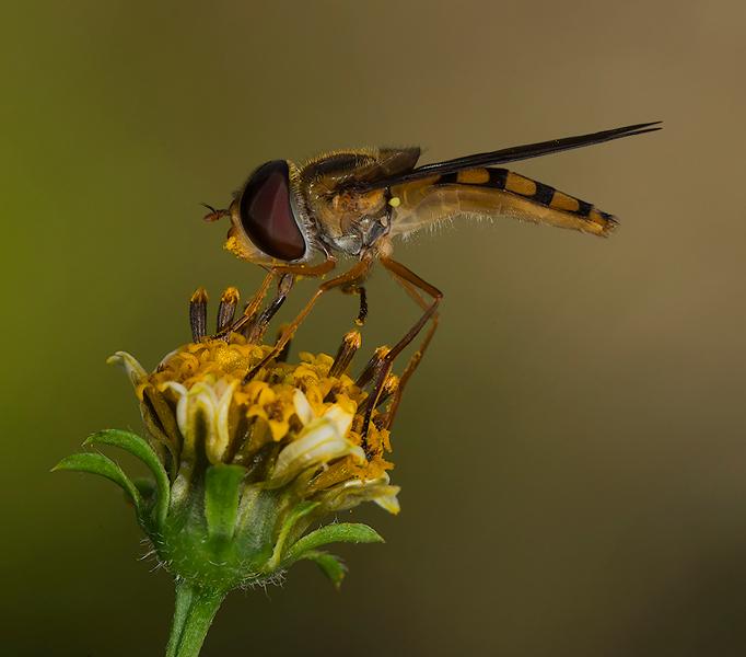Feeding dance fly 0615