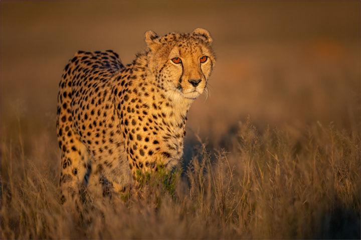 NA-Snr-Johan Greyling_Cheetah In Early M
