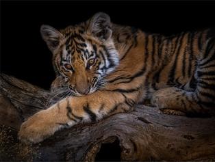 PO-M-Tania Cholwich-38-G-Cute Tiger Cub.