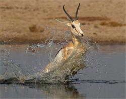 Startled springbok