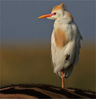 24 Cattle egret.jpg