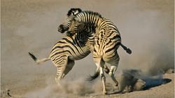 6 Zebra combat jjd