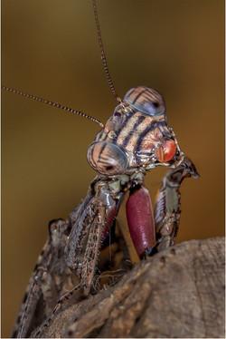 Resting Mantis IMG_2642-Edit-Edit-Edit