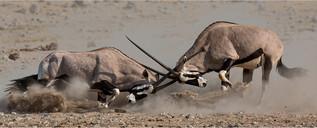 20 Oryx fight.jpg