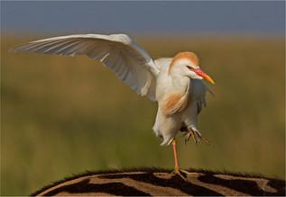 05 Egret balance.jpg