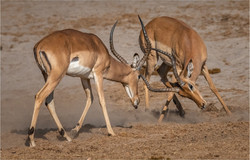MR-005-Impala fight 5-537