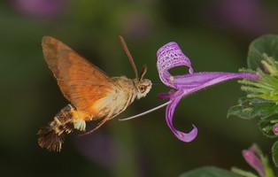 NA-Snr-Hennie Niemand_Hummingbird Moth 0