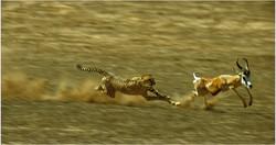 1 Cheetah charge  jjd