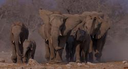 Dors olifanttrop 0116