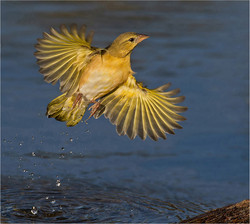 Finch departure