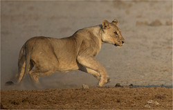 MR-001-01 Playing lions-734