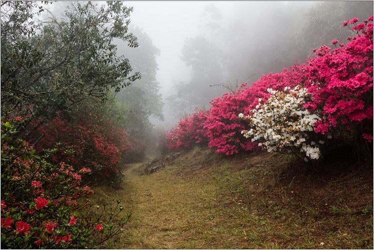AFO_Azalias in the mist