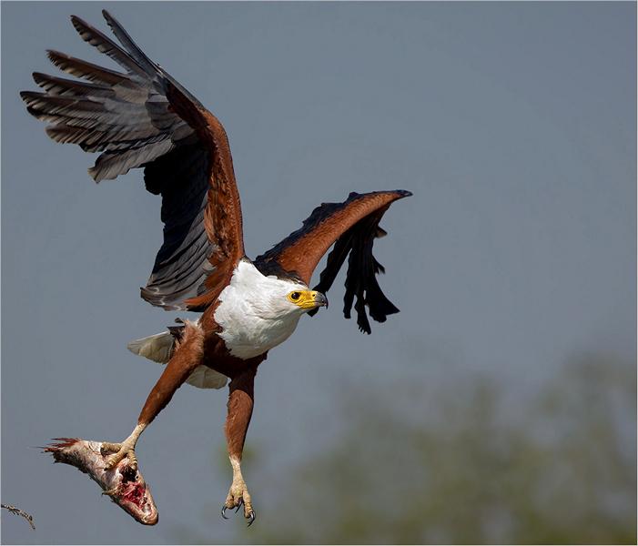 Fish eagle catch