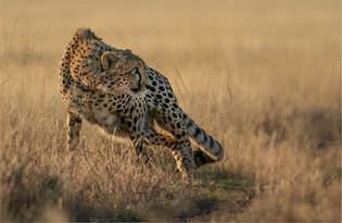NA-M-Johan Greyling-38-G-Cheetah Stare.j