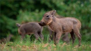 NA-Jnr-Dewald Kleynhans_Curious Piglet.j