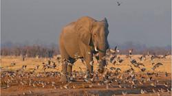 5 Savuti Elephant jjd