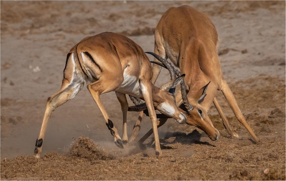 MR-003-Impala Fight 3-537