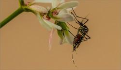 MR-004-Mosquito Life4-2806