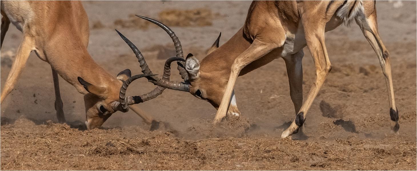 MR-002-Impala Fight 2-537