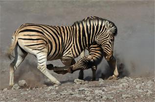07 Zebra interaction.jpg