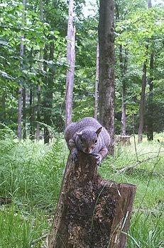 squirrelstump.jpg