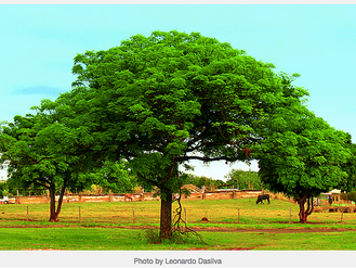 Growing Mango Trees to Educate Girls