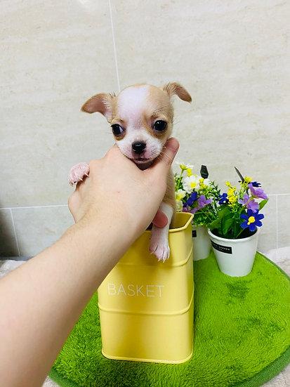 ❤분양완료❤ 크림파티 단모치와와 공주 '수지'