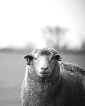 lamb_edited_edited.jpg