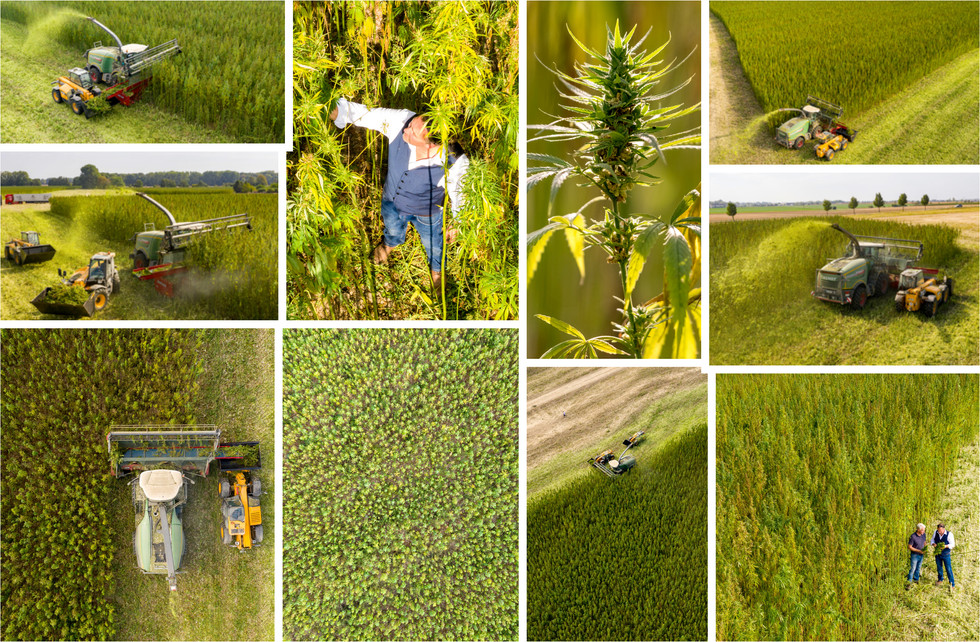 Germany's first harvest of cannabis plants for supplementation in Saxony