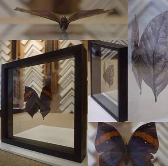 display case foe butterfly