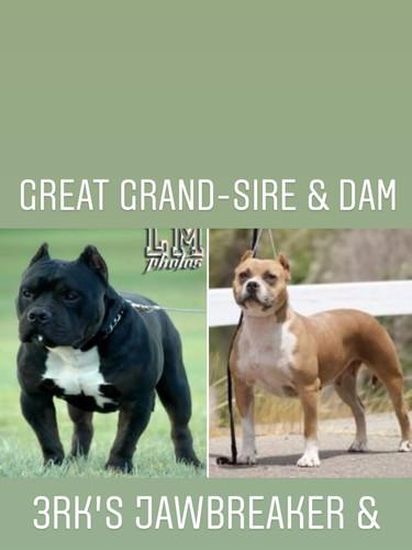 Baelah Great Grand Sire & Dam
