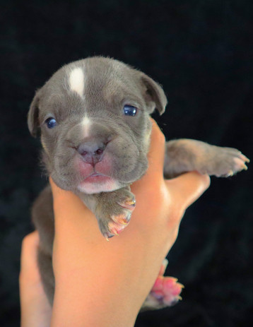 Blue Trindle Male $4500