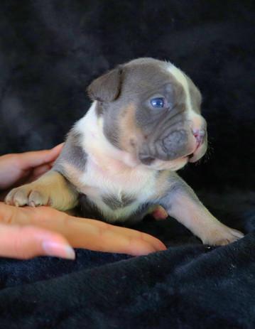 Blue Tri Female $4500