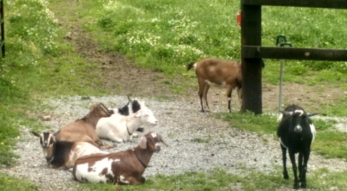 A lazy day for goaties...