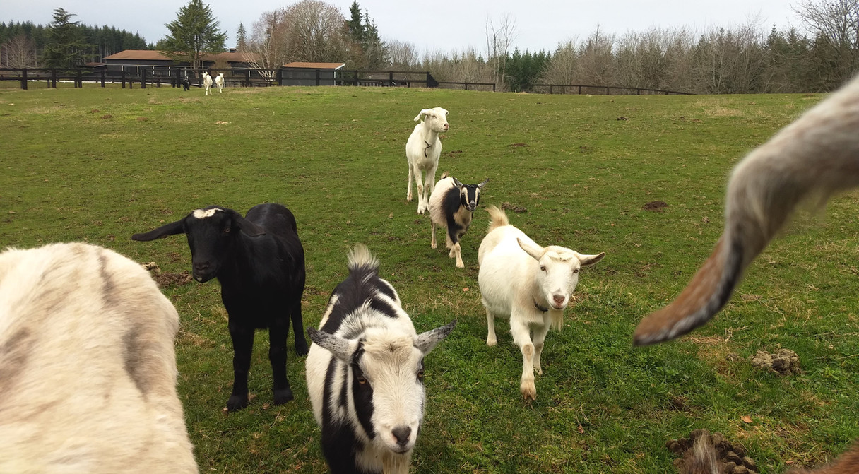 Goaties on the move...